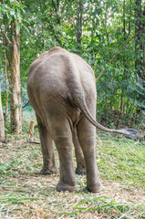 Young male elephants in Thailand