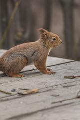 Portrait of eurasian red squirrel.Sciurus vulgaris