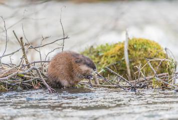 Bisamratte (Ondatra zibethicus) baut Nest im Fluss