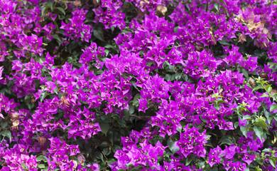 Purple Bougainvillea Flower photo on nature background .
