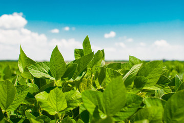 Green ripening soybean field, agricultural landscape.