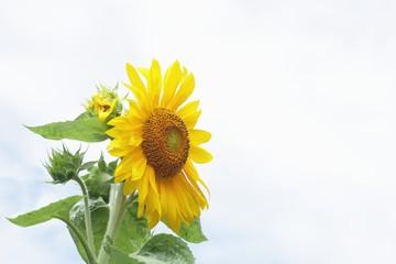 夏の花ひまわり