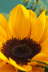 Sonnenblume, (Helianthus annuus)