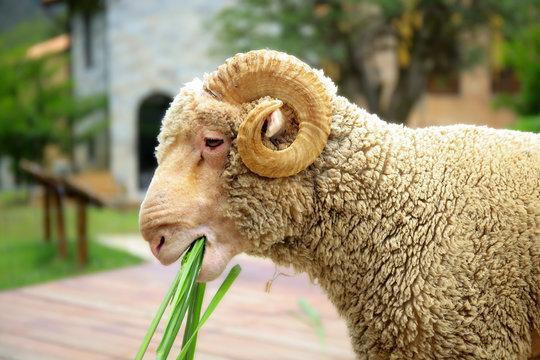 Merino sheep eating grass in outdoor scene.