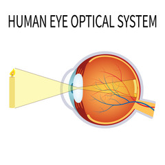 Illustration of the human eye optical system.