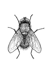 engraved, drawn,  illustration, insect, fly, greenbottle, house fly