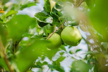 Granny Smith Apples on a Tree