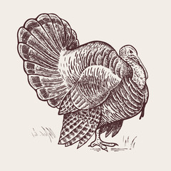 Graphic illustration - poultry turkey.