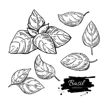 Basil vector drawing set. Isolated plant with leaves.