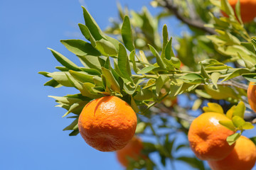 Tangerines or mandarins on a leafy branch in afternoon sunlight with blue sky in background