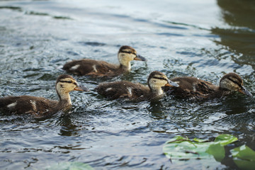 Wild duck bird in the lake or pond beautifull photo