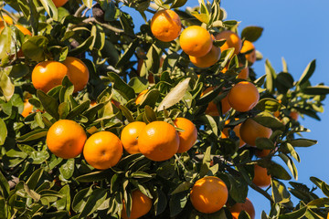 closeup of clementines ripening on tree