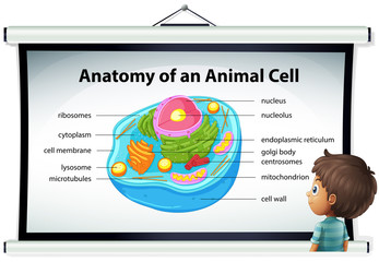 Chart showing anatomy of animal cell