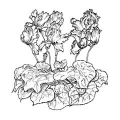 flower cyclamen black white