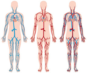 Different diagram of blood vessels in human