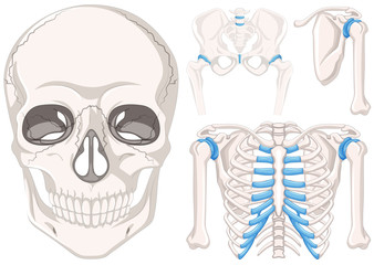 Human skull and other parts of bones