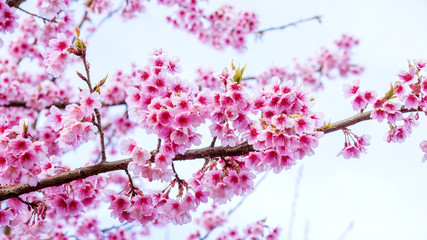 Pink Wild Himalayan Cherry in nature