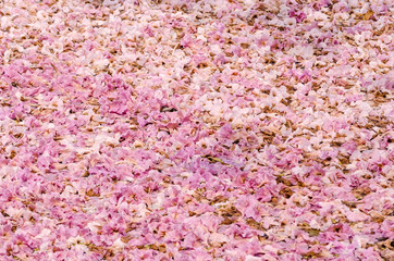 Texture of Tabebuia rosea on the ground, pink flower.