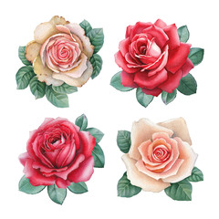 Watercolor illustrations of a rose flowers