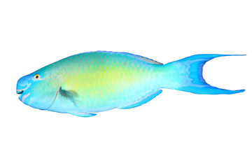 Tropical fish isolated: Parrotfish white background