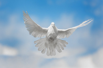 Wall Mural - White dove is flying