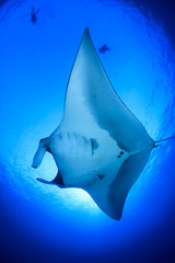 Manta Ray, scuba divers behind