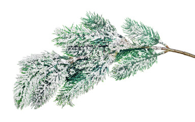 isolated on white blue pine tree branch in snow