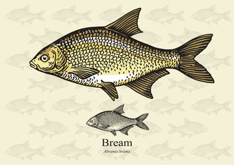 Bream fish. Vector illustration for web, education examples, graphic and packaging design. Suitable for artwork in small sizes.