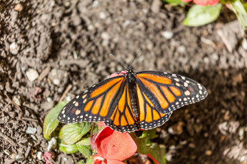 Black, orange, and white pattern of the monarch butterfly. The butterfly sits on a green leaf of a flower on earth background