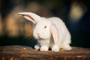 Funny fold albino rabbit with red eye