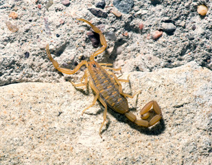 Bark Scorpion - Centruroides exilicauda (formerly C. sculpturatu
