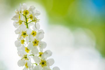 European bird cherry tree flower