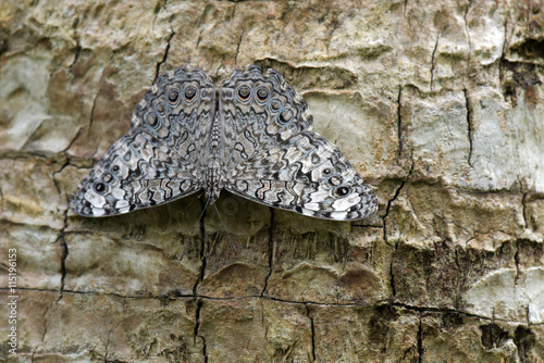 Gray cracker butterfly sighted in remnant of Atlantic Rainforest