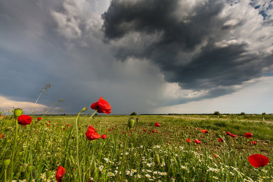 Field of wild red poppies and storm clouds in early summer in Europe