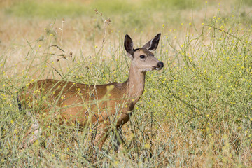 Black Tail Deer Female