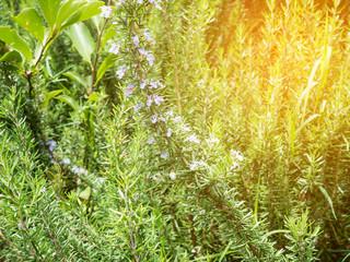 Fresh rosemary organic herb grow outdoor close up