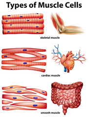 Diagram showing types of muscle cells