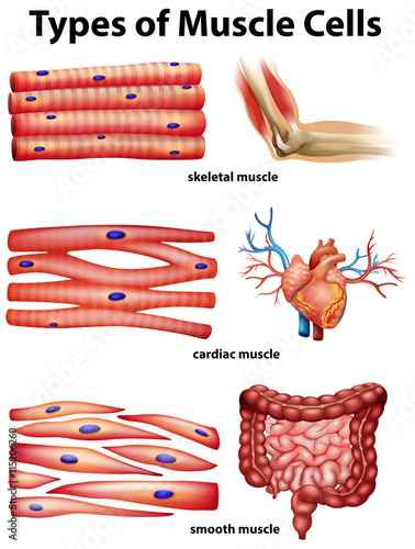 """Diagram showing types of muscle cells"" Stock image and ..."