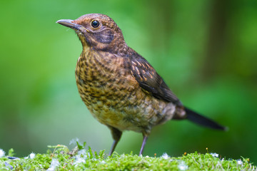 The young Blackbird