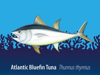 Atlantic bluefin tuna in the sea
