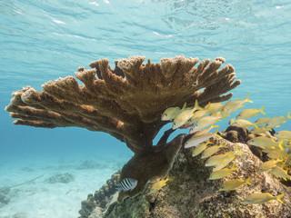 Unterwasser - Riff - Koralle - Elchgeweihkoralle - Tauchen - Curacao - Karibik