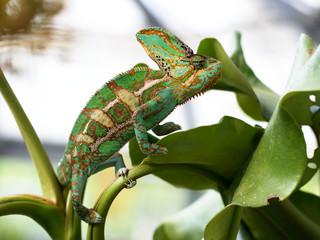Male Yemen chameleon - chamaeleo calyptratus