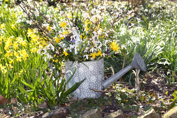 Daffodill and snowdrops in watering can
