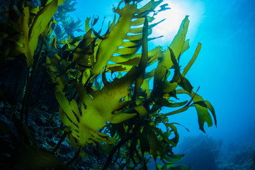 Green Seaweed dancing in the sea
