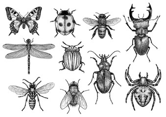 engraved, drawn,  illustration, insects