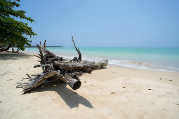 old tree at white sand beach Khao lak