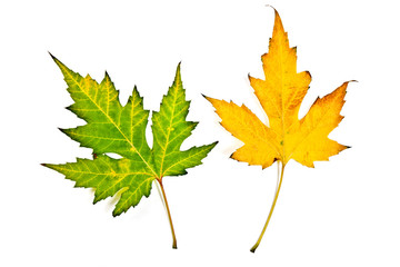 Autumn maple leaves isolated on white background. With clipping