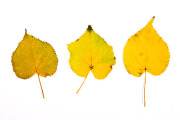 Assort of different autumn aspen tree leaf isolated on white bac