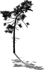 isolated black curved pine with shadow