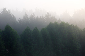 Fog in the dense coniferous forest.